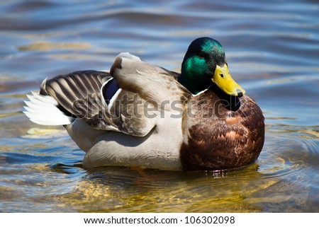 Colorful male Mallard duck swimming. - stock photo