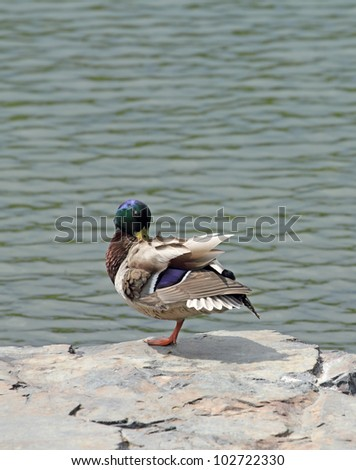 colorful male mallard on a rock by the lake