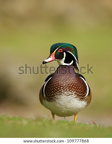 Colorful male Wood Duck at Lithia City Park in Ashland, Oregon (the Shakespeare Festival town); pacific northwest wildlife / waterfowl / bird / nature - stock photo