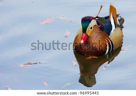 Colorful mandarin duck swimming on a quiet pond - stock photo