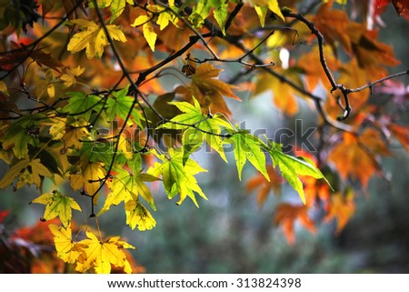 Colorful maple leaves in autumn - stock photo