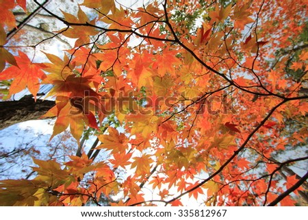 Colorful maple leaves in Oirase River,Towada City, Aomori, Japan.