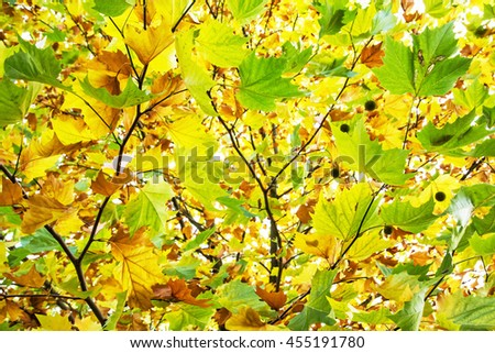 Colorful maple leaves on the autumn tree. Beauty in nature. Seasonal natural scene. Vibrant colors. - stock photo