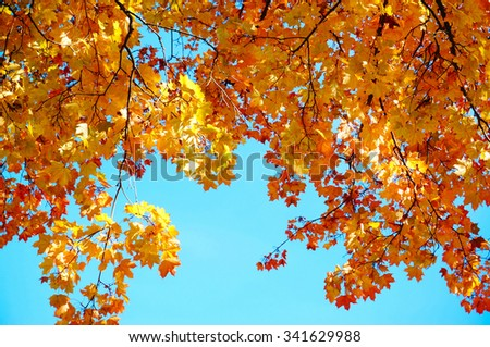 Colorful maple leaves with blue sky background