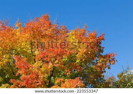 Colorful Maple Tree in the Fall with copy space