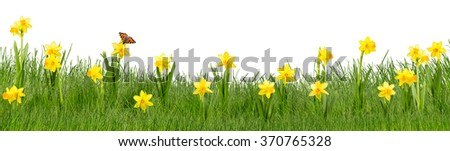 colorful meadow with daffodils on white background - stock photo