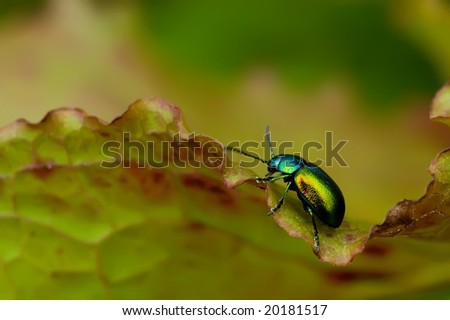 Colorful metallic beetle crawling upon a leaf