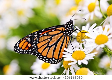 Colorful monarch butterfly sitting on chamomile flowers - stock photo