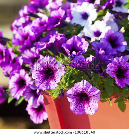 Colorful multiflora petunias in an orange wooden planter or window box. - stock photo