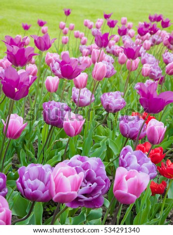 Colorful Nature Mixed Tulips Flowers Background Many Amazing Various Violet Mauve Pink Growing In