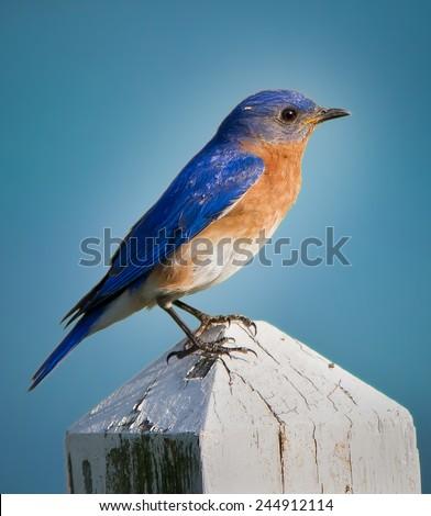 Colorful North Carolina Bluebird - stock photo