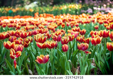 Colorful of beautiful tulip garden in spring. - stock photo