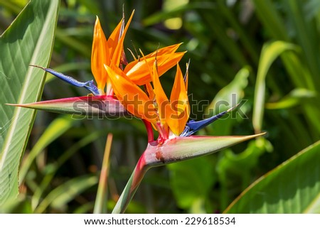 Colorful of  Bird of paradise flower blossom in botanic garden - stock photo