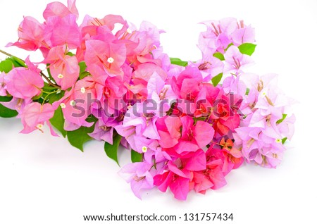 Colorful of bougainvillea flower, tropical flower isolated on a white background