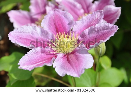 colorful of clematis