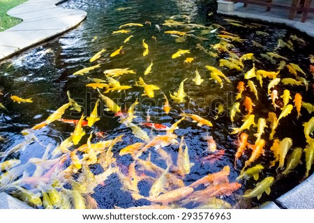 Colorful of life. Koi fish pond in Jogjakarta, Indonesia