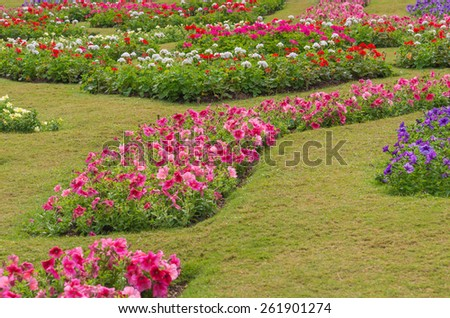 Colorful of petunia flowers in garden. - stock photo