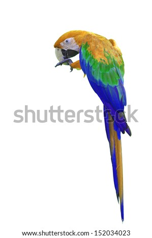 Colorful Orang-and-blue Macaw isolated on white background