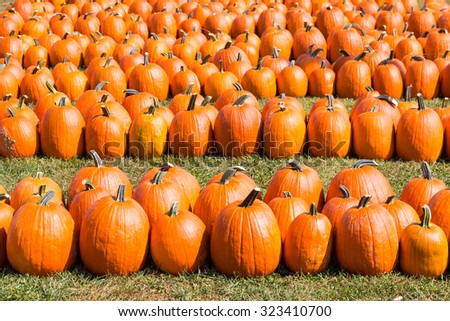 Colorful orange pumpkins in a field. Autumn harvest background. - stock photo