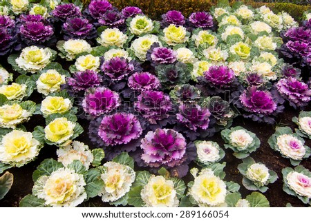 Colorful Ornamental cabbage in the garden - stock photo