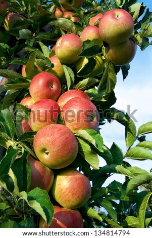 Colorful outdoor shot containing a rich bunch of red apples on a branch ready to be harvested - stock photo