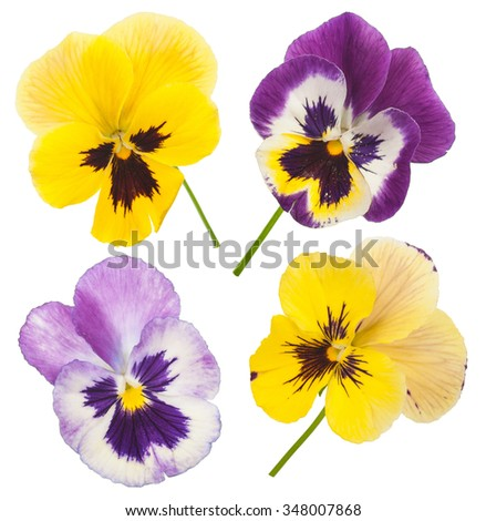 Colorful pansies - stock photo