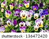 colorful pansy flower - stock photo