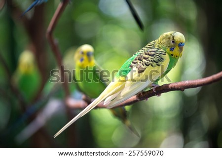 Colorful parakeets resting on tree branch - stock photo