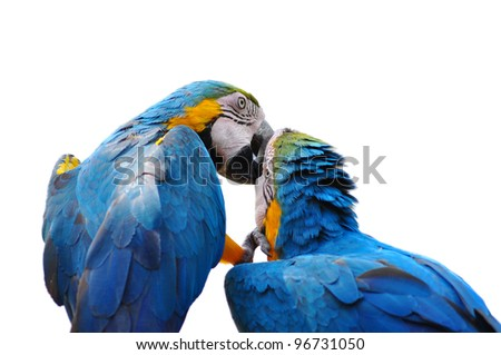 colorful parrot love bird macaw isolated on white background - stock photo