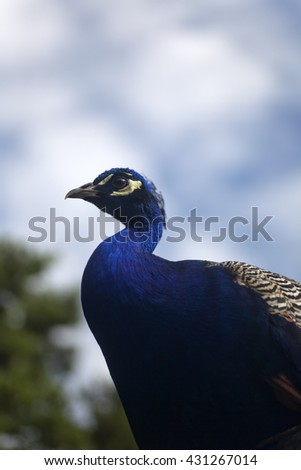 Colorful peacock against blue sky with clouds - stock photo