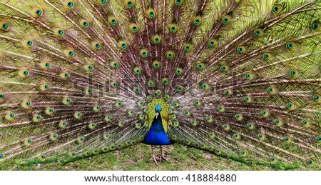 Colorful peacock spreading feathers  - stock photo