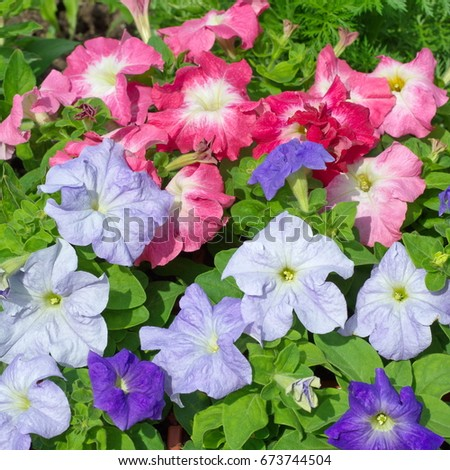 Colorful Petunia flowers in garden