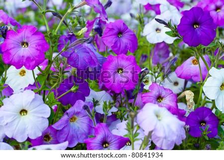 Colorful petunias close-up, selective focus - stock photo