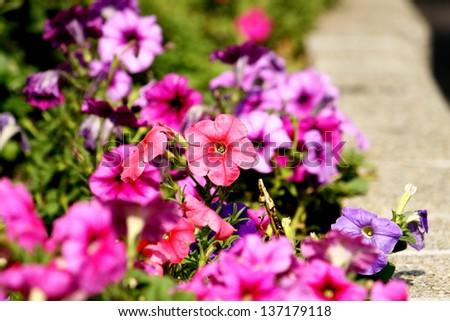 Colorful petunias close-up, selective focus, shallow DoF - stock photo