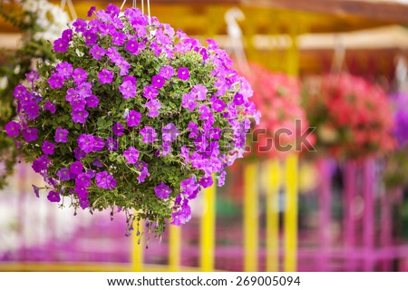 Colorful petunias in hanging pots - stock photo