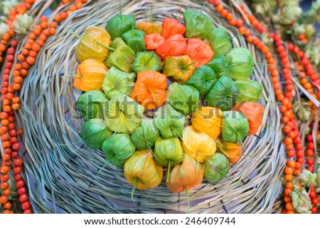Colorful Physalis harvest in autumn - plants with orange lanterns