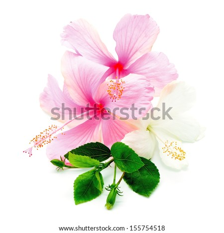 Colorful pink and white Hibiscus flower isolated on a white background - stock photo