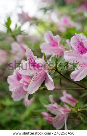 Colorful Pink Azaleas in full bloom in spring, closeup, short depth-of-field. - stock photo
