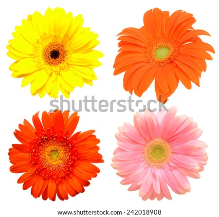 Colorful pink Gerber flowers, daisies isolated on white