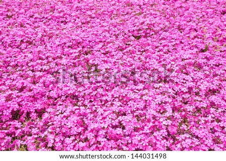 colorful pink moss phlox as background - stock photo