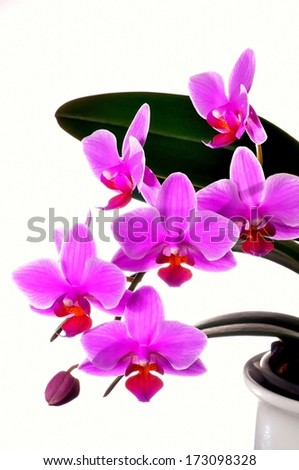 Colorful pink orcid in modern white pot on isolated white background - stock photo