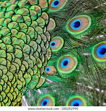Colorful plumage of male Green Peafowl feathers background