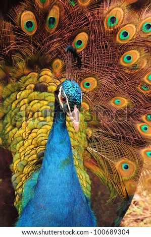Colorful plumage of Peacock in full bloom