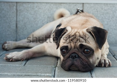 Colorful portrait of sad purebred pug dog lying on blocks outdoors and looking somewhere with depression in his eyes. Copy space - stock photo