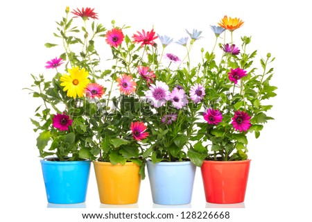 Colorful Pot with Colorful african daisy (Dimorphoteca) flower - stock photo