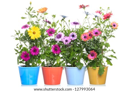 Colorful Pot with Colorfull african daisy (Dimorphoteca) flower