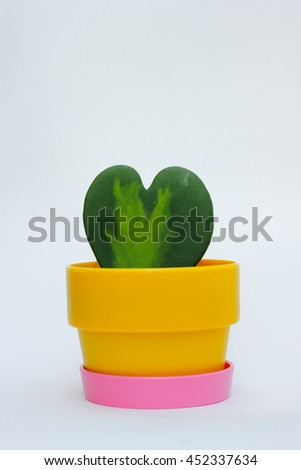 Colorful potted Ho-ya Isolated on White Background , The leaves are heart-shaped ,Potted trees planted Ho-ya , ho-ya pots Isolated on White Background. - stock photo