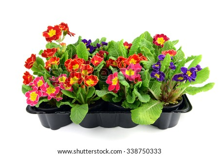 colorful primula in mixed in a tray box, isolated on white background