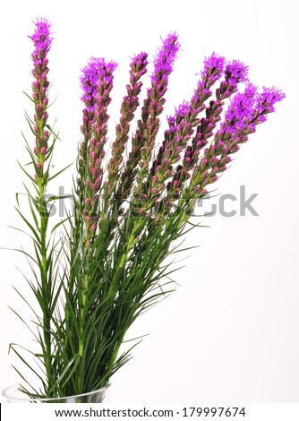 Colorful Purple Blooms of the Liatris or Gay Feather Flower isolated on white  - stock photo