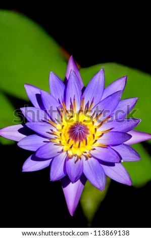Colorful purple day blooming tropical water lily.